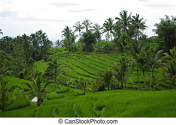 Landscape of terrace ricefields