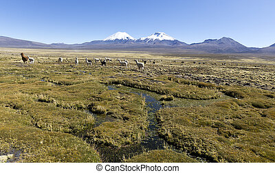 landscape of the Andes Mountains, with llamas grazing. -...