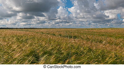landscape of wheat field at harvest
