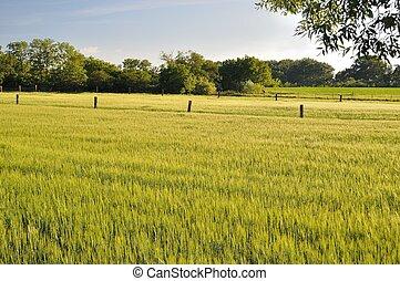 Landscape of Wheat Field
