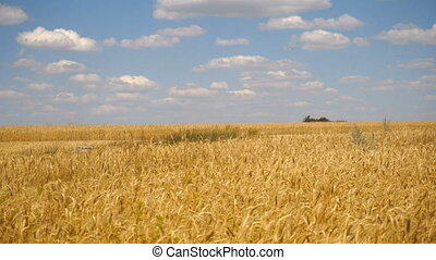 landscape of wheat fields and blue sky with clouds