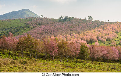 Landscape of Wild Himalayan cherry blossom forest in full bloom, Thailand