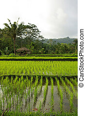 Landscape of young ricefields