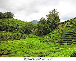 Landscape panorama view of green tea plantation field