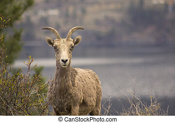 Bighorn Sheep landscape photo with Okanagan Lake in the background