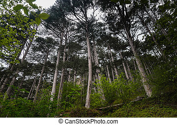 Landscape pine forest in the mountains