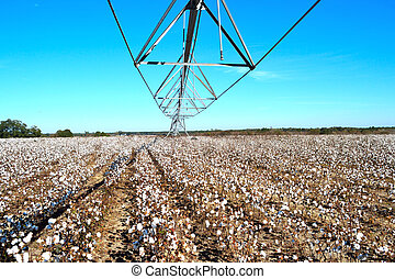 Landscape Pivot in Center over Cotton Field Ready for Harvest
