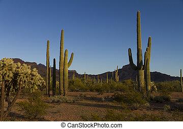 landscape, saguaros