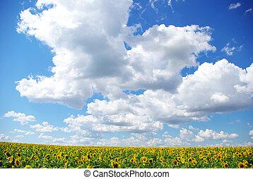 landscape - sunflower field over cloudy blue sky