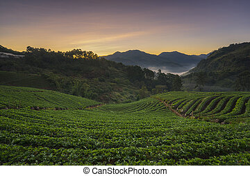 Landscape sunrise at strawberry garden Doi Ang Khang. -...