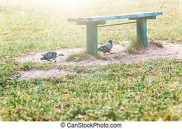 Landscape two pigeons under a park bench on green grass in the sunlight. Copy space