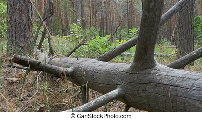 Landscape view of a Pine Forest, Fallen Logs of Dry Trees...