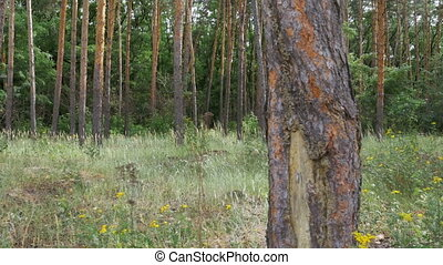 Landscape view of a Pine Forest, Green Grass and Tree Trunks.