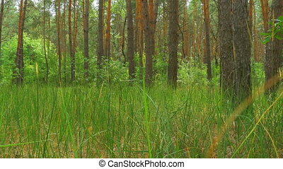 Landscape view of a Pine Forest, Green Grass and Tree...