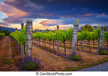 Landscape view of beautiful vintage vineyard during colorful sunset, New Zealand