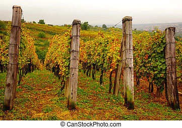 Landscape view of beautiful vintage vineyards with colorful foliage and wooden poles