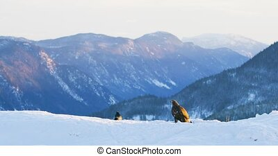 Landscape view with golden eagle eating on a dead animal in mountains at winter