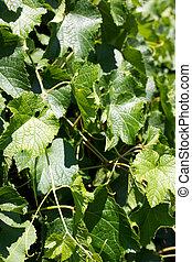 landscape vineyard