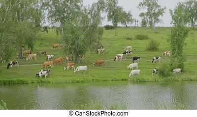 Landscape with a herd of cows in the on coast of the lake cinemagraph