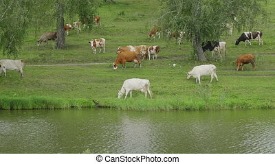 Landscape with a herd of cows in the on coast of the lake