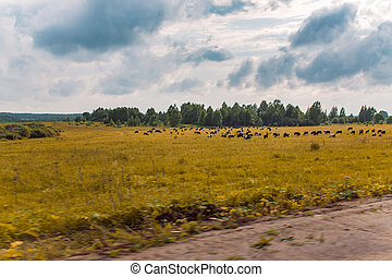 Landscape with a herd of cows