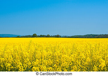 Landscape with a rapeseed field
