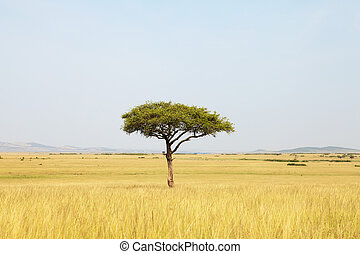 Acacia tree in Africa