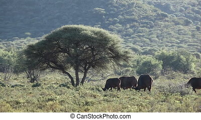 Landscape with an Acacia tree and African buffalos (Syncerus caffer), Mokala National Park, South Africa