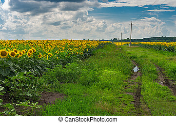 Landscape with an earth road among unripe sunflower agricultural fields