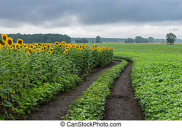 Landscape with an earth road among unripe sunflower and soybean agricultural fields