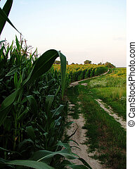 landscape with countryside road, corn
