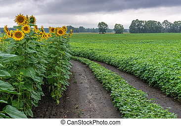 Landscape with dirty road among sunflower and soybean agricultural fields