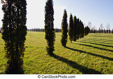 landscape with evergreen tree thuja
