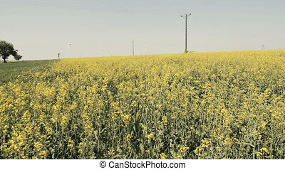 Landscape with field full of yellow canola - Camera slide...