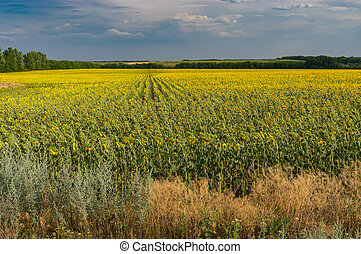 Landscape with flowering sunflowers field  at rainy summer ...