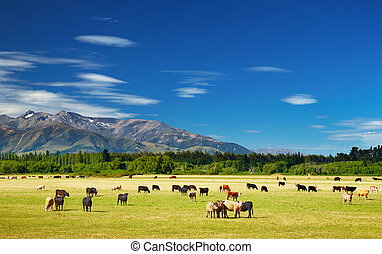 Landscape with grazing cows - New Zealand landscape with...