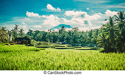 Landscape with green rice fields and Agung volcano....