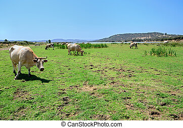 landscape with herd of cows