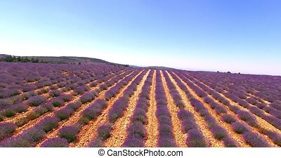 Landscape with lavender fields - Country landscape with...