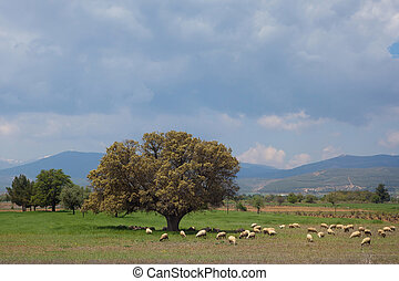 Landscape with mighty tree and sheeps