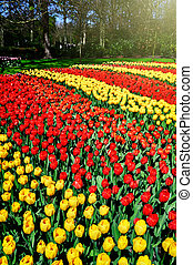 Landscape with multicolor tulips
