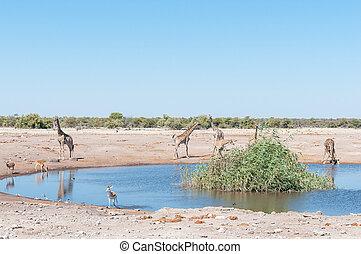 Landscape with Namibian giraffes, impalas, springbok and burchells zebra