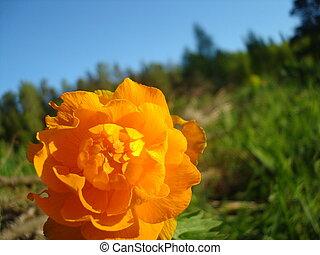 Landscape with orange trollius