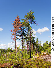 pine trees in the summer forest