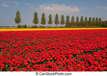 Landscape with red and yellow tulips