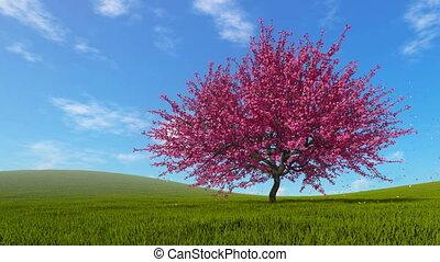 Landscape with sakura cherry tree in full blossom - Spring...