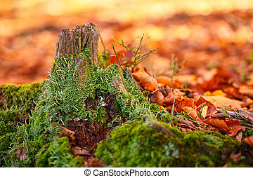 Landscape with the autumn forest. Strong roots of old stump,...