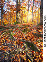 Landscape with the autumn forest. Strong roots of old trees....