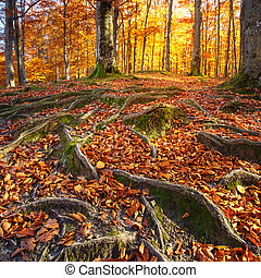 Landscape with the autumn forest. Strong roots of old trees. bea