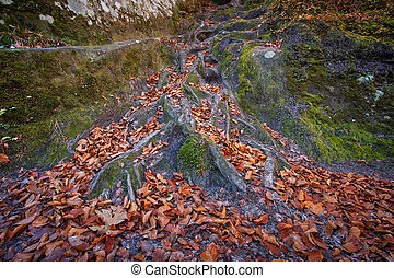 Landscape with the autumn forest. Strong roots of old trees.